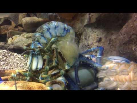 Rare Blue Lobster Molting