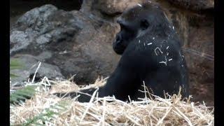 "Video Gorilla girl ""Komomo""(Seven-year-old) and sofa of the straw.ゴリラの女の子""コモモ""(7歳)と藁のソファー。 download MP3, 3GP, MP4, WEBM, AVI, FLV Desember 2017"