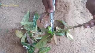 croton plant in plastic cups   க ற ட டன   croton care   croton bonsai making