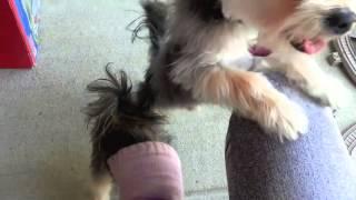 Morkie Dogs - Summer Fun