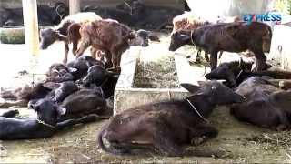 Best Practices of Dairy Farming : Paadi Pantalu | Express TV