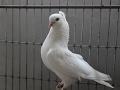 Chuina Chuithal Nor Pigeon Spring :)