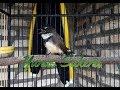Bakal Langsung Nyaut Gacor Sikatan Anda Saat Dimasteri Burung Sikatan Jawa Ini  Mp3 - Mp4 Download