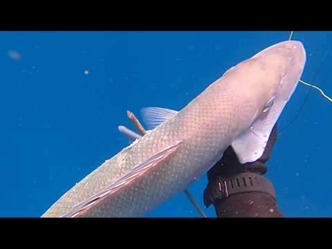 Spearfishing Jobfish At Great Barrier Reef