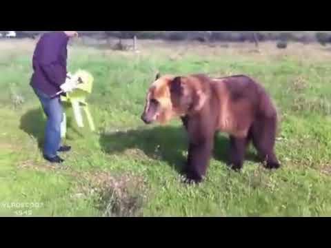 الدب   أفضل صديق للرجل الروسي