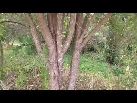 New Zealand Native Plants Kanuka & Manuka