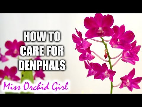 how-to-grow-dendrobium-phalaenopsis-orchids-successfully-|-complete-care-guide