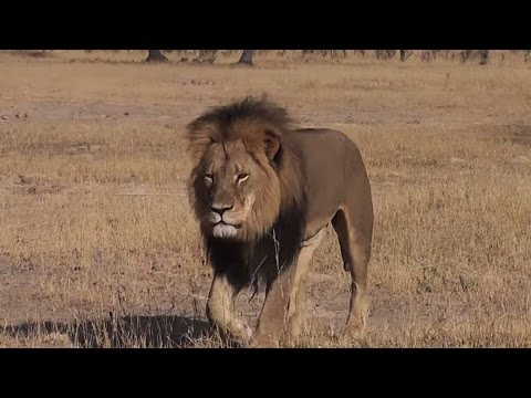 Cecil the lion : American dentist wanted for killing 'prized' Zimbabwe lion