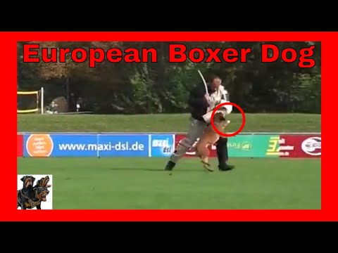 Boxer Dog -Trialing