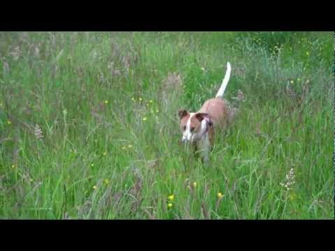 Jack Russell Cross playing Frisbee in long grass