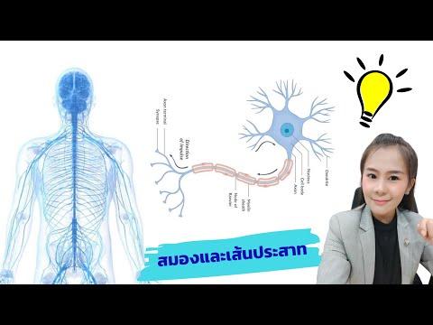 สมอง เส้นประสาท ไขสันหลัง