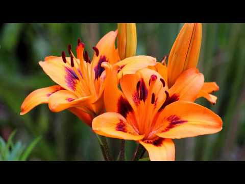 How To Grow Tiger Lilies At Home
