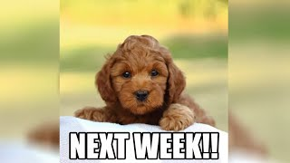 Replacing the kids with a MINI GOLDENDOODLE PUPPY!!