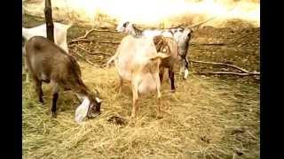 Anglonubijské kozy- Ranchbabkovi