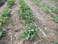 Как посадить клубнику .Классический способ.