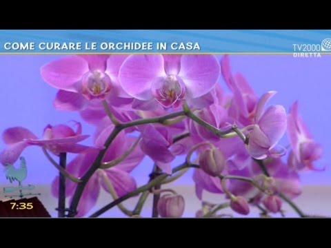 Come Curare Le Orchidee In Casa