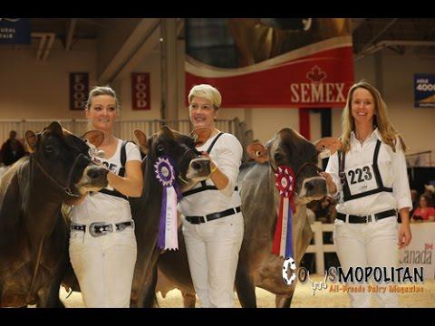 Royal Winter Fair Jersey Cows 2015