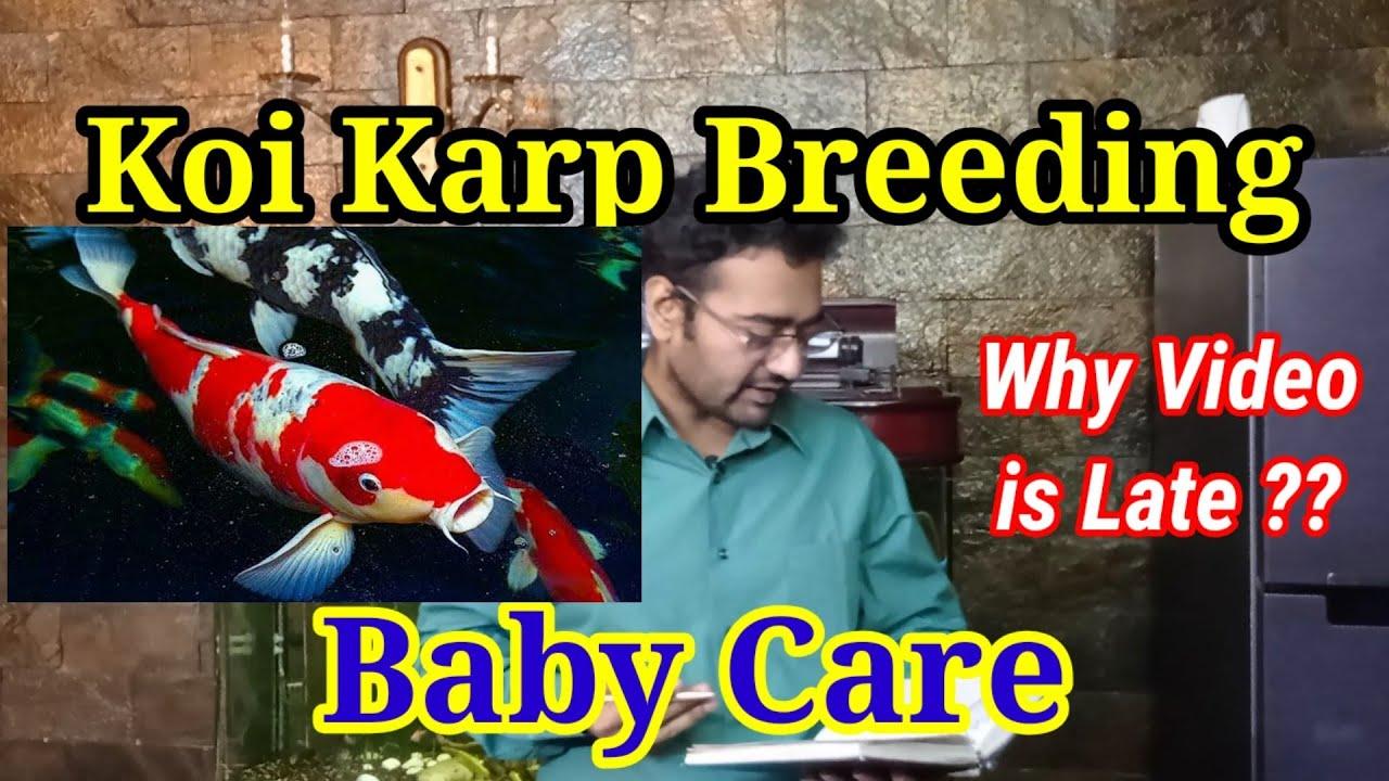 Koi Carp Fish / Koi Carp Fish Breeding / Koi Carp Pond / Koi Carp Aquarium / Koi Carp Baby Care / AJ