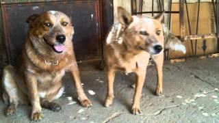 Cachorros, Puppy, Yorkies, Pug, Chihuahuas.wmv