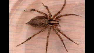 Огромный паук в квартире