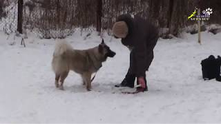 Отличия в поведении и работе собак, упражнения для апортировки, ОКД