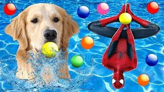 Superhero Spiderman and Wonder Dog Chase Learning Colors with Ball Pit Balls in the Pool