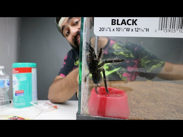 كيف تشتري عنكبوت عملاق!!