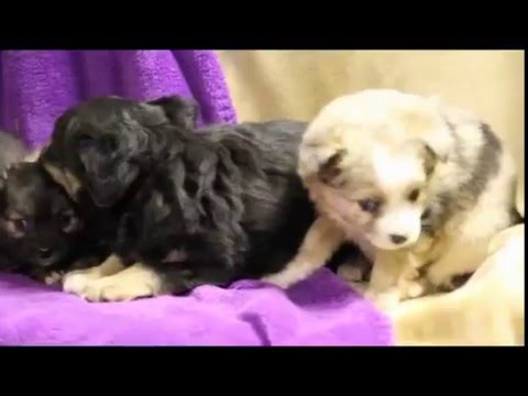 Miniature Toy Australian Shepherd Puppies For Sale