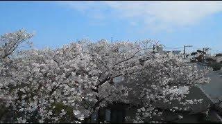 桜シーズンの東海道・山陽新幹線車窓 のぞみ37号(品川駅出発)
