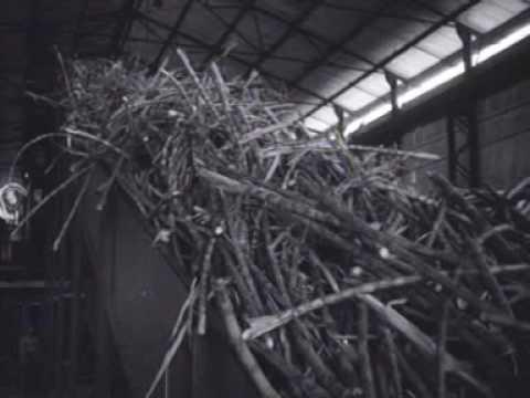 Nieuws uit de West: suikercultuur in Suriname (1948)