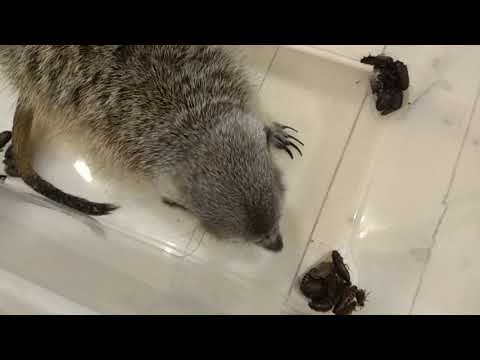 Сурикат ест тараканов / meerkat eats 100 cockroaches