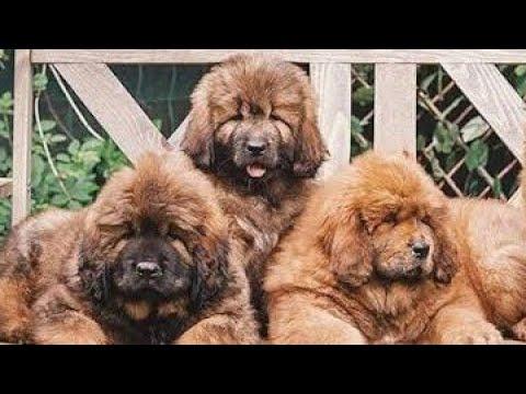 Tibetan Mastiff Puppies For Sale In Punjab,India (TOP QUALITY)
