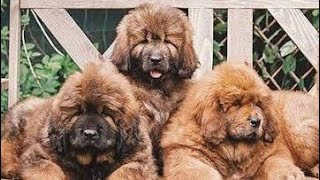 Tibetan Mastiff Puppies For Sale In Punjab,India (TOP QUALITY)
