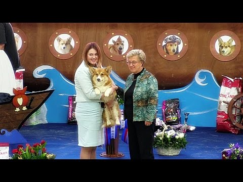 """Welsh corgi pembroke. Dog - """"Champions"""" class at the Russian Club National Specialty show 2017."""