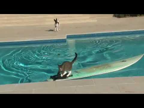 CAT BARELY ESCAPES JAWS ON SURFBOARD by CATMANTOO 360p