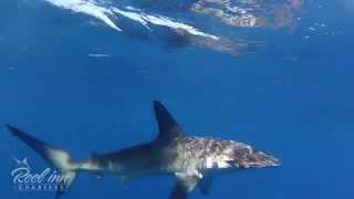 Hammerhead Shark Encounter Off The Coast Of Dana Point, Ca