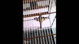 Suara Burung Cucak Jenggot Receh Gacor dorr