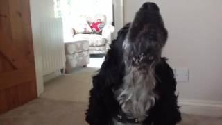 Cocker Spaniel Singing
