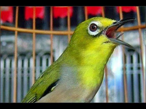 Masteran Suara Burung Pleci Ngalas Nembak Istimewa