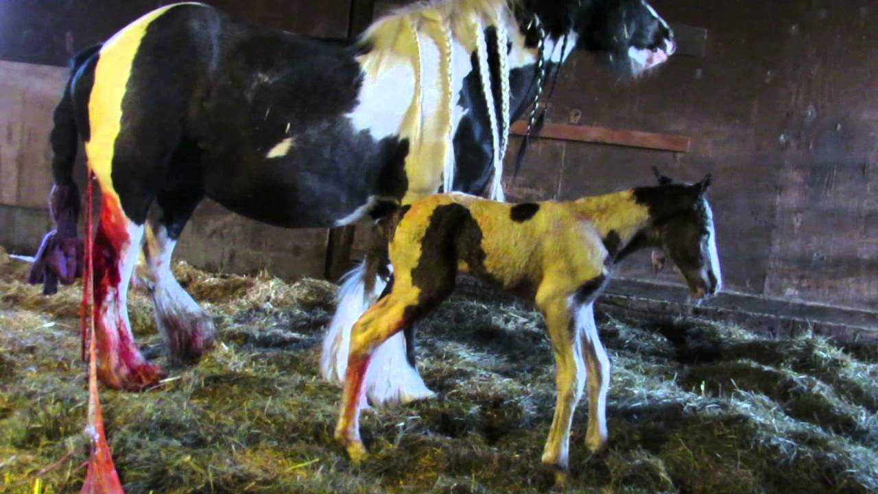 baby gypsy cob foal just a few hours old youtube