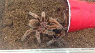"Tarantula Mating: Grammostola rosea ""Rose Hair"" (RCF): Spiders-N-Inverts #6"