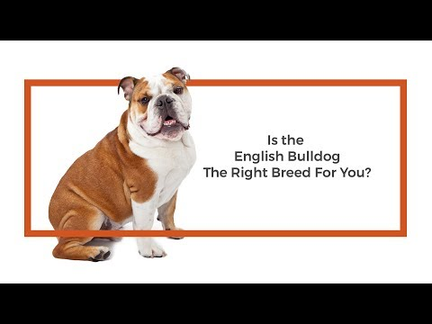 Is the English Bulldog the right breed for me?