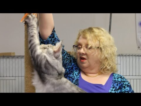 Richmond VA Cat Show: Longhair Kitten Judging (CFA)