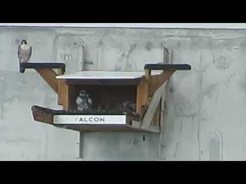 Les faucons pèlerins