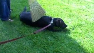 Molly Dog - (demo)  Does Your Dog Trust You?  The Broom Demo.