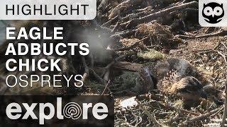 Audubon's Steve Kress Provides Insight on Osprey Chicks | Explore