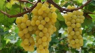 ЛУЧШИЕ СОРТА ВИНОГРАДА ИЗ МОЕЙ КОЛЛЕКЦИИ! КРАТКИЙ ОБЗОР.(Обзор некоторых очень хороших сортов винограда,саженцы которых есть в моей коллекции! Сорта:Шасла, Юбилей..., 2016-11-25T15:54:05.000Z)