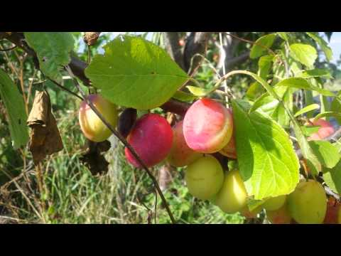 Victoria Plum: How to Identify it by the fruit?