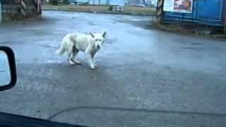 Танцююча собака.