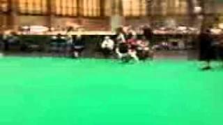 crufts 2011 foxhound dog class.